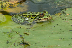 Northern Leopard Frog Stock Photos