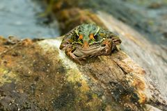 Northern Leopard Frog - Lithobates pipiens. Northern Leopard Frog basking on a log. Rouge National Urban Park, Toronto, Ontario, Canada stock photos