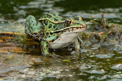 Northern Leopard Frog Royalty Free Stock Photos
