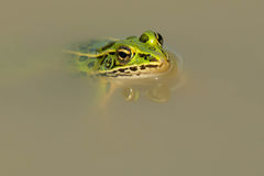 Northern Leopard Frog - Lithobates pipiens. Northern Leopard Frog floating in the muddy water. Rouge National Urban Park, Toronto, Ontario, Canada stock photo