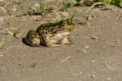 Northern Leopard Frog - Lithobates pipiens Stock Photo