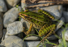 Northern Leopard Frog(Lithobates pipiens). Close up of a green spotted Northern Leopard Frog on rocks along the shore of Lake Ontario,Canada Royalty Free Stock Photo