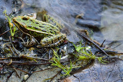 Northern Leopard Frog (Lithobates pipiens) on Lake Shoreline Royalty Free Stock Photo