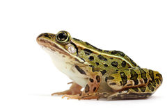 Northern Leopard Frog (Lithobates pipiens). On a white background royalty free stock photo