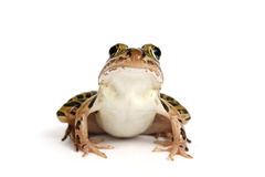 Northern Leopard Frog (Lithobates pipiens) Royalty Free Stock Photography