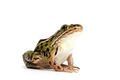 Northern Leopard Frog (Lithobates pipiens) Royalty Free Stock Image