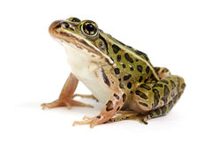 Northern Leopard Frog (Lithobates pipiens). On a white background royalty free stock photos