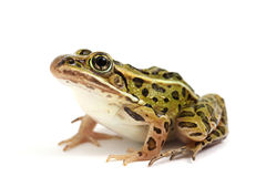 Northern Leopard Frog (Lithobates pipiens). On a white background royalty free stock images