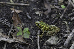 Northern Leopard Frog Royalty Free Stock Images