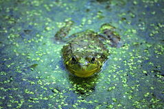 Northern Leopard Frog,Rana pipiens. A northern leopard frog sits in an algae covered pond Royalty Free Stock Image