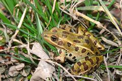 Northern Leopard Frog (Rana pipiens) Stock Photos