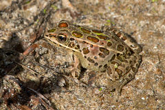 Northern Leopard Frog Stock Photography