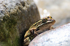Northern Leopard Frog on rock Stock Photo