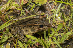 Northern Leopard frog Stock Images