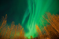 Northern Lights. The Northern Lights over trees in Alaska Royalty Free Stock Images