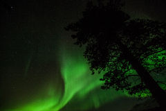 Northern lights in Sweden forest Royalty Free Stock Photo