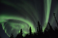 Northern Lights in the trees royalty free stock photo