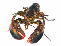 Northern lobster (homarus americanus) over white Royalty Free Stock Photo