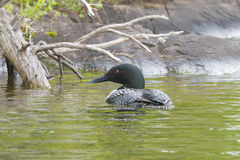 Northern Loon Royalty Free Stock Image