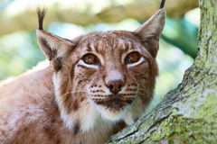 Northern Lynx. In Polish Zoo Stock Images