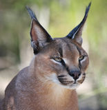 Northern Lynx. Portrait of your male Royalty Free Stock Image