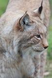Northern Lynx cat Stock Photos