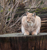 Northern Lynx cat Stock Image