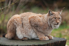 Northern Lynx cat Stock Images