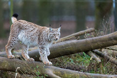 Northern Lynx Stock Images