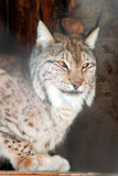 Northern lynx Stock Photo