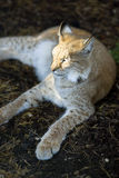 Northern lynx luxuriates Royalty Free Stock Image