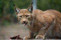 Northern lynx (Lynx lynx lynx). Royalty Free Stock Image