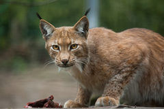 Northern lynx (Lynx lynx lynx). Stock Photography