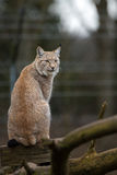 Northern Lynx Royalty Free Stock Image