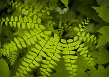 Northern Maidenhair Fern. Found in North Carolina Forests Stock Images