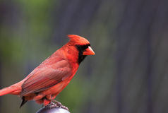 Northern Male Cardinal perched on wooden branch Royalty Free Stock Photos