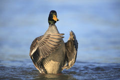 Northern mallard Stock Image