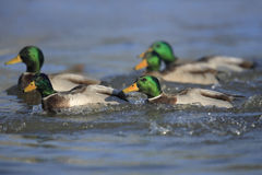 Northern mallards. Five male northern mallard ducks swimming on a river Stock Photo