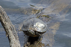 Northern Map Turtle Stock Photos