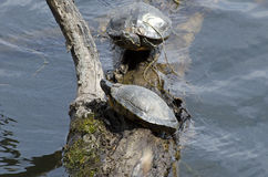 Northern Map Turtle Royalty Free Stock Photo