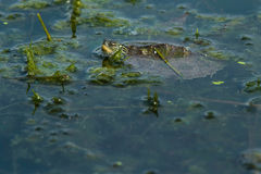 Northern Map Turtle. Baby Northern Map Turtle floating with the moss on the surface of the water. Humber Bay Park, Toronto, Ontario, Canada Royalty Free Stock Photos