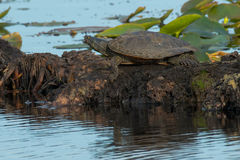 Northern Map Turtle Royalty Free Stock Photography