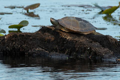 Northern Map Turtle Stock Photo