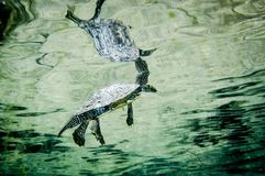 Northern Map Turtle underwater in the St.Lawrence River stock photos