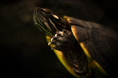 Northern Map Turtle. Closeup northern map turtle under water swimming in the dark Stock Photos