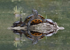 Northern Map Turtle and Midland Painted Turtles Basking on a Log Stock Photo