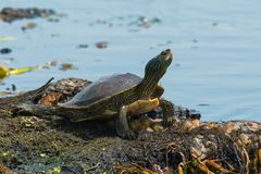 Northern Map Turtle. Stretched out by the edge of the water basking in the sun. Point Pelee National Park, Leamington, Ontario, Canada Stock Image
