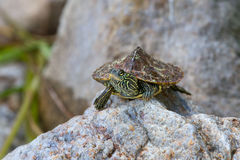 Northern Map turtle Royalty Free Stock Images