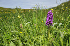 Northern Marsh Orchid Royalty Free Stock Photos
