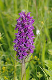 Northern Marsh Orchid Royalty Free Stock Photo
